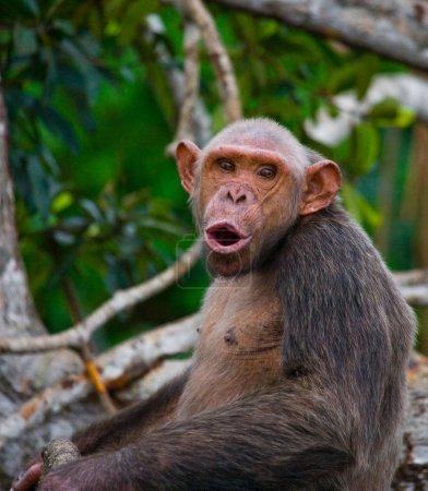 Funny Chimpanzee, Republic of the Congo