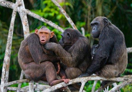 Funny Chimpanzee family, Republic of the Congo