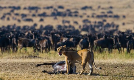 Lioness had just killed a wildebeest.