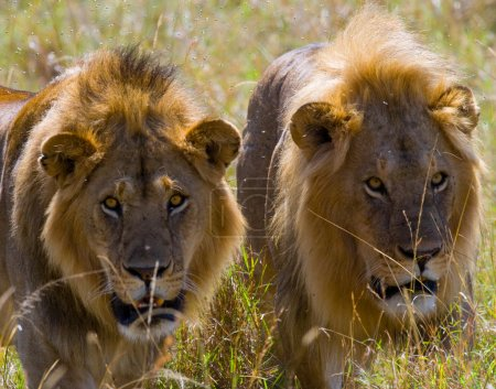 Two large lions