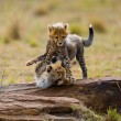 Playing cubs Cheetah  in its habitat. wild cat's s...