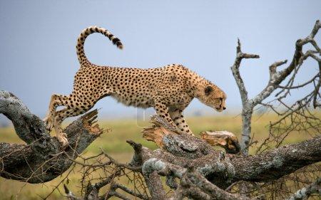 One Cheetah in its habitat