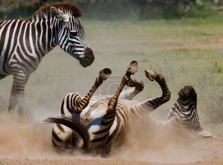 Zebra lying a dust