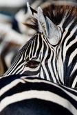 Zblízka portrétní Zebra
