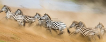 Zebras are running in the dust in motion