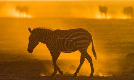 Zebra in the dust on sunset light.