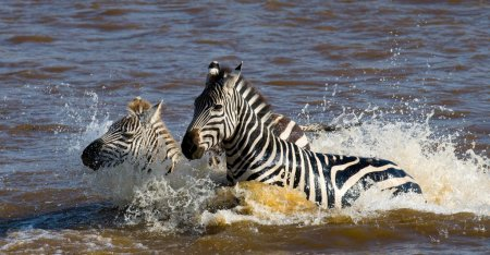 Two zebras in the water