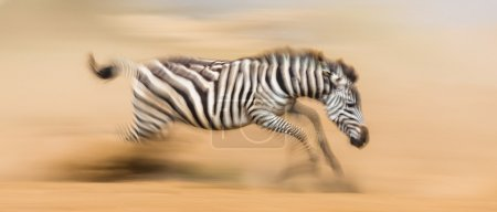 Zebra are running in the dust in motion
