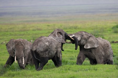 Three wild elephants