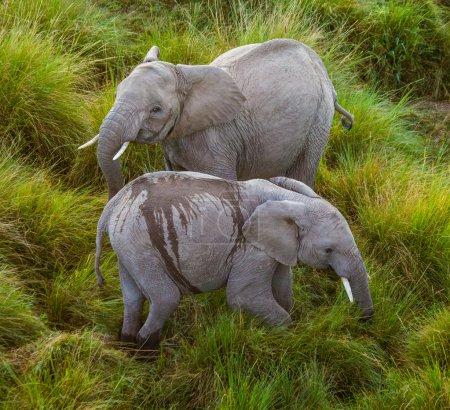 Two wild elephan