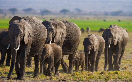 Wild elephants herd.