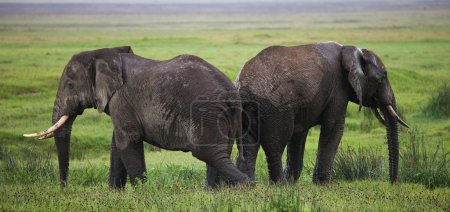 Two wild elephants