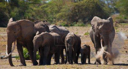 Wild elephants herd.