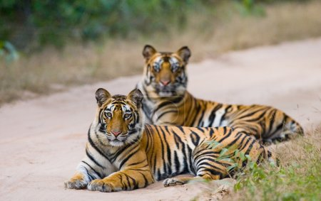 Wild Tigers on road