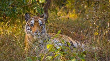 Wild Tiger lying relaxing