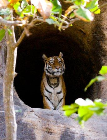One wild Tiger.