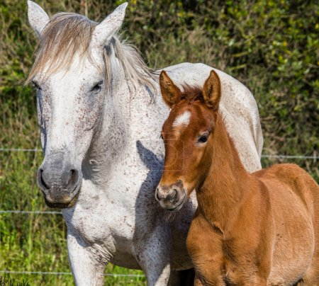 Mother white horse with baby