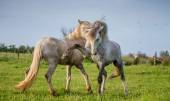 Two white Camargue stallion playing