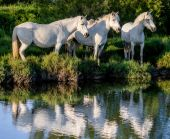 Camargue horses  reflected in water