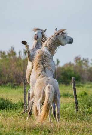 Two white Camargue stallion playing