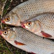 Постер, плакат: Close up view of the several roach fish just taken from the wate