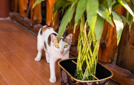 Photo pour Chat noir et blanc effrayé ou étonné - image libre de droit