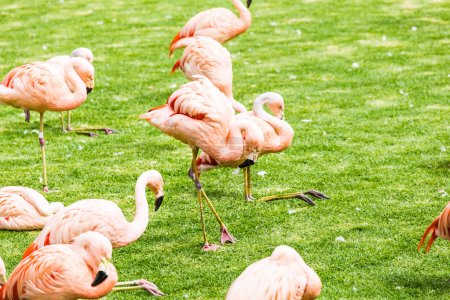 Group of pink flamingos