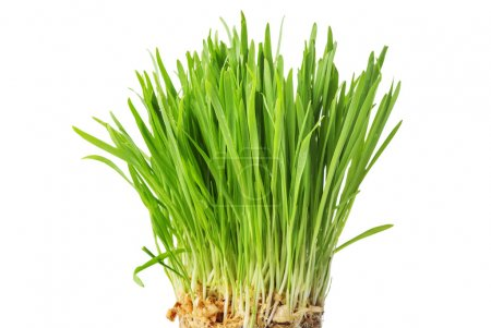 fresh green grass, oat sprouts, close up, isolated on white back