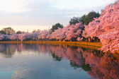 Blossoming cherry trees at dawn around Tidal Basin, Washington DC.