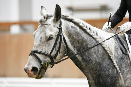 Grey colored dressage horse under saddle with unedintified rider