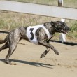 Постер, плакат: Running racing greyhound dog on racing track