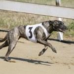 Постер, плакат: Running racing greyhound dog on racing track
