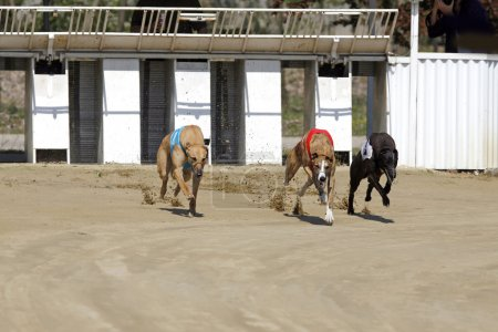 Racing dogs at the start