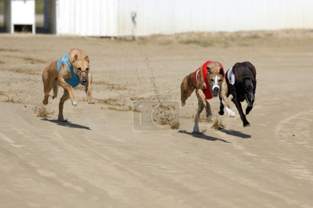 Racer dogs at the dog race start