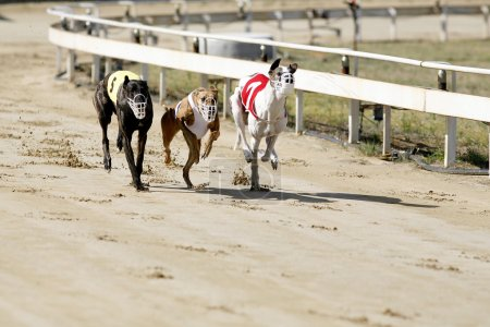 Running racing greyhound dogs on racing track