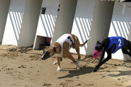 Start of a greyhound whippet race. Greyhounds with starting gate