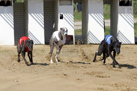 Starting gate at dog racing track with running dogs