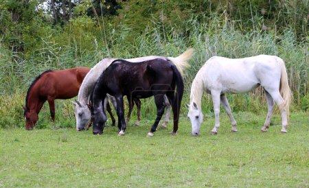 Purebred arabian horses grazing on pasture summertime