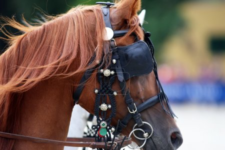 Head shot of a harnessed horse with blinds