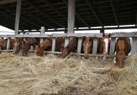 Young horses eating hay in stable
