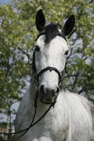 Face to face portrait  of a purebred gray horse against natural background