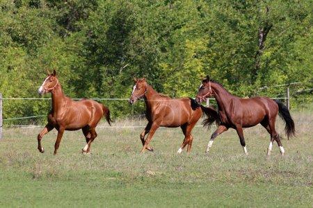 Three of beautiful young stallions galloping on pasture summerti