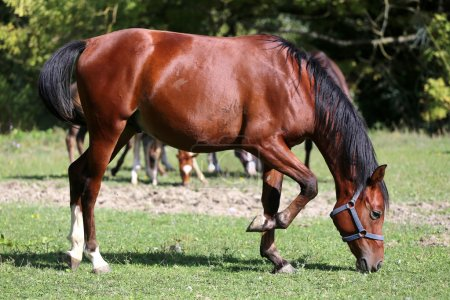 Thoroughbred young arabian horse graze on summer meadow