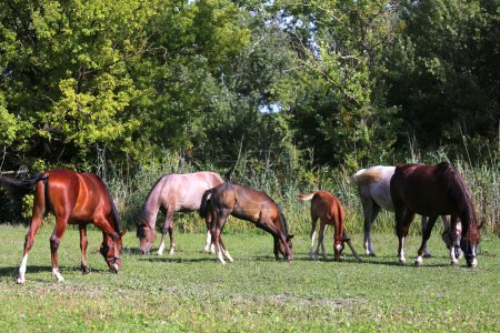 Mares and foals grazing together on pasture at horse farm