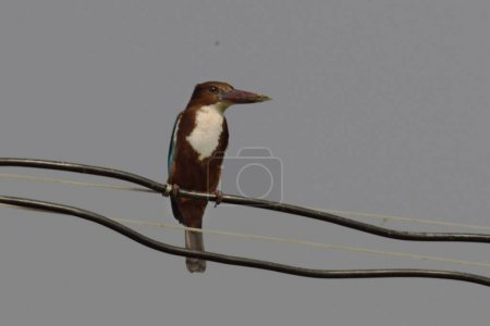 Photo for White throated kingfisher sitting on a cable - Royalty Free Image