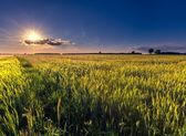 Beautiful summer field with green cereal