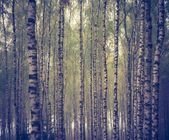Vintage photo of birch forest
