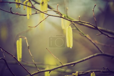 Vintage photo of hazelnuts catkins