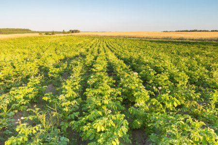 Photo pour Paysage d'été belle du champ de la pomme de terre dans la lumière du coucher du soleil. Campagne polonaise - image libre de droit