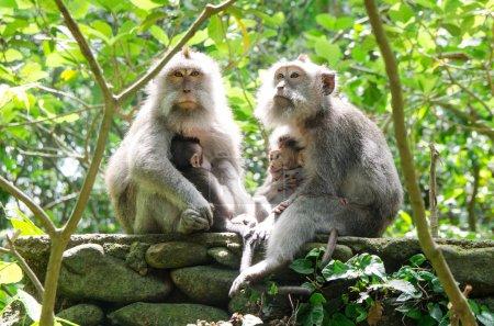 Monkey Family - Stock image